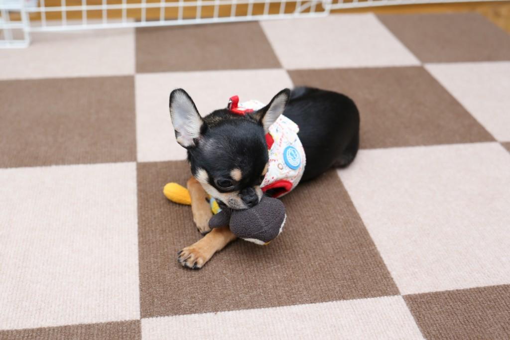 おもちゃのペンギンと遊ぶ
