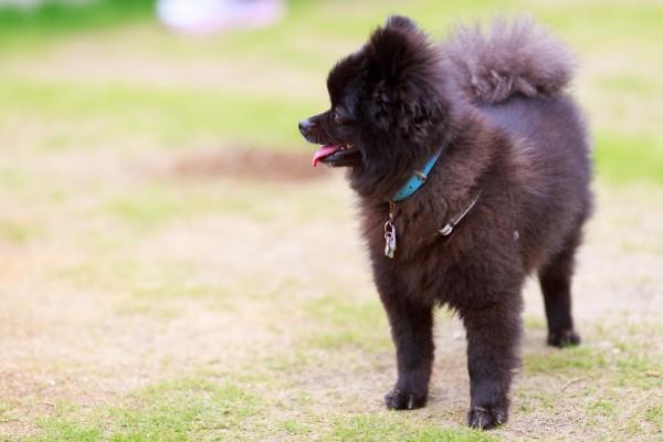 モフモフ系黒犬