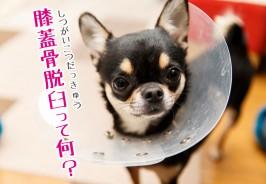 チワワの膝蓋骨脱臼(つがいこつだっきゅう)