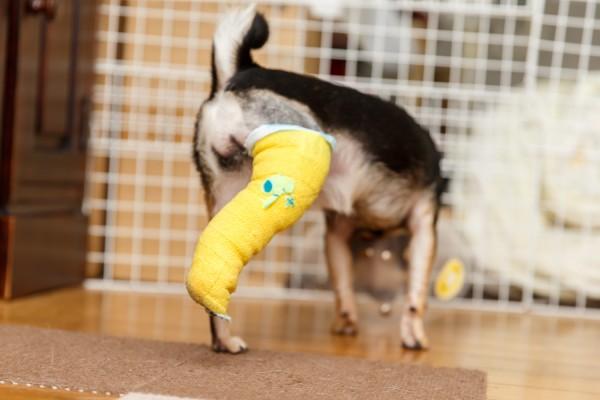 膝蓋骨脱臼(しつがいこつだっきゅう)パテラのチワワ