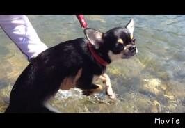 チワワの犬かき動画