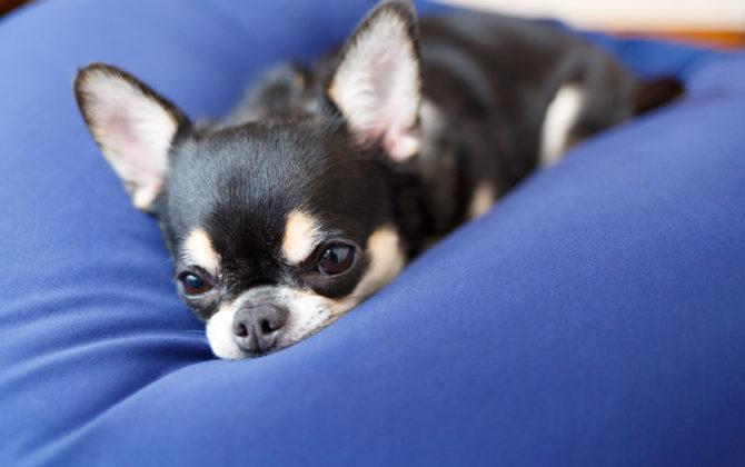犬も人もダメにする小型犬に最適ビーズクッションを誕生日プレゼントに
