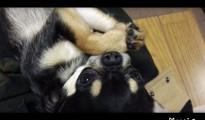 チワワのしぐさに癒される~♪キャロの動画を初投稿