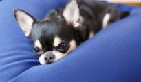 犬も人もダメにする小型犬に最適なビーズクッションを誕生日にプレゼント!