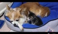 チワワに甘える子猫がベッドの中でスリスリ