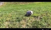 ころころ坂道を可愛く転げ落ちる子犬が話題