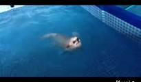 犬かき中のチワワがいつの間にか背泳ぎに!